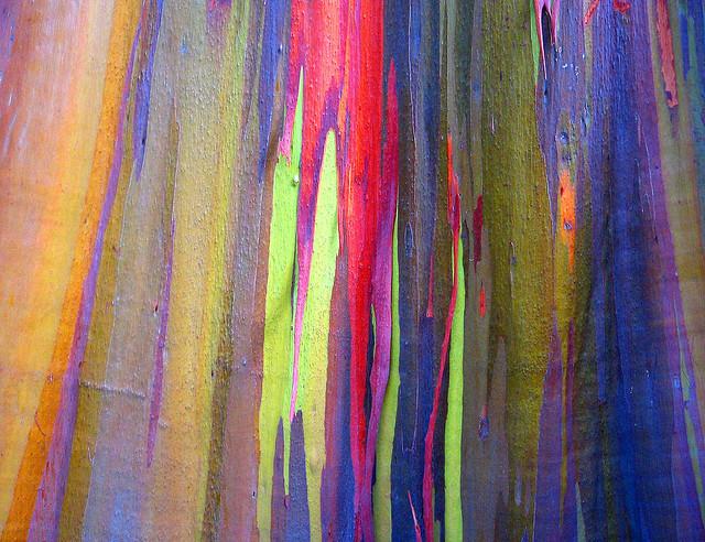 rainbow eucalyptus3 (640x492, 185Kb)