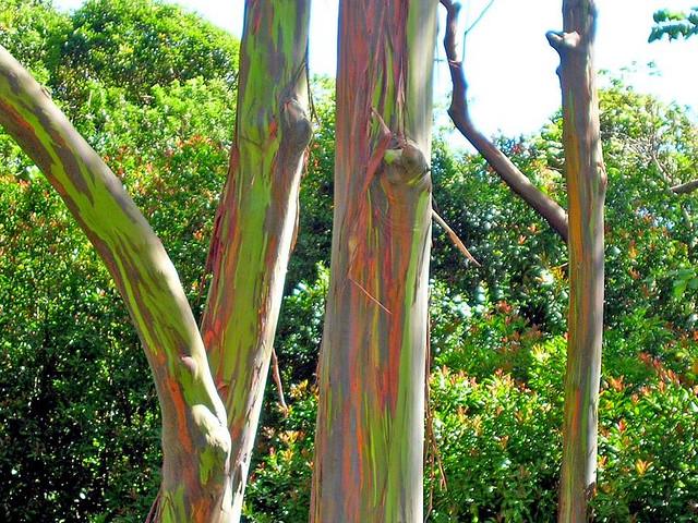 rainbow eucalyptus7 (640x480, 194Kb)