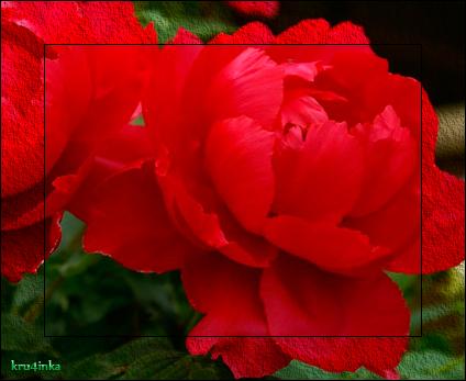 Пионы-красные (424x347, 218Kb)