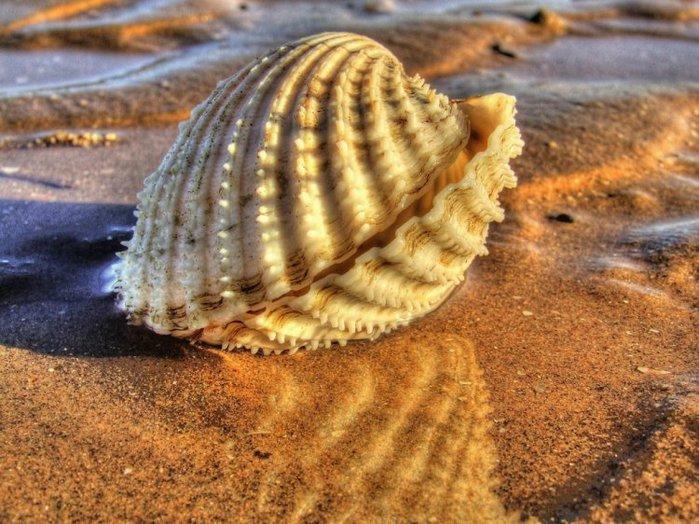 морские ракушки фото 9 (700x524, 100Kb)