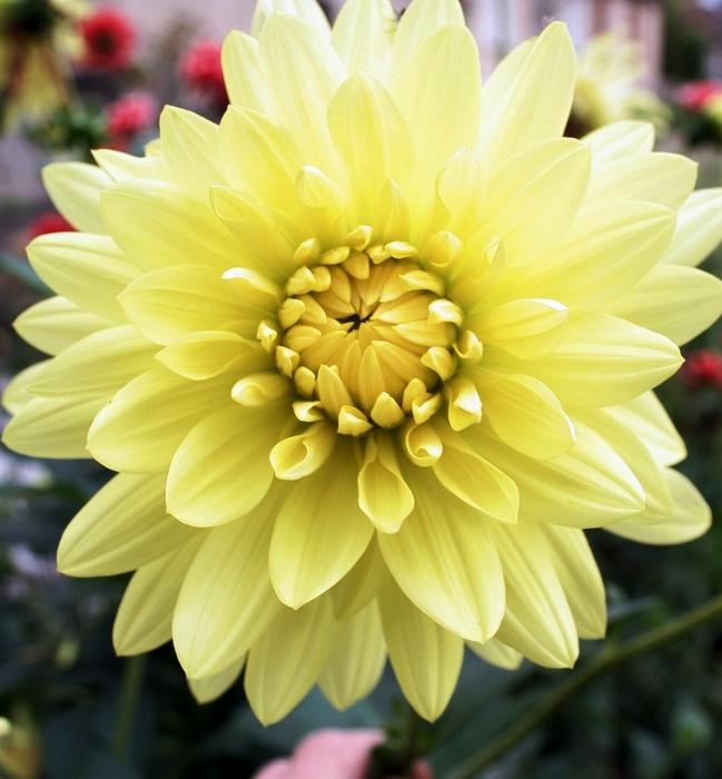 Dahlia jaune Asteraceae compositae dahlia variabilis (649x700, 280Kb)