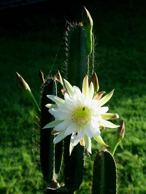 1821795_cactusblossom3 (500x667, 32Kb)
