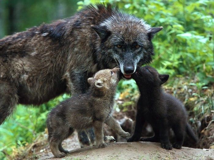 Discovery,животные,волк,волки,волчица,Animal Planet (700x525, 94Kb)