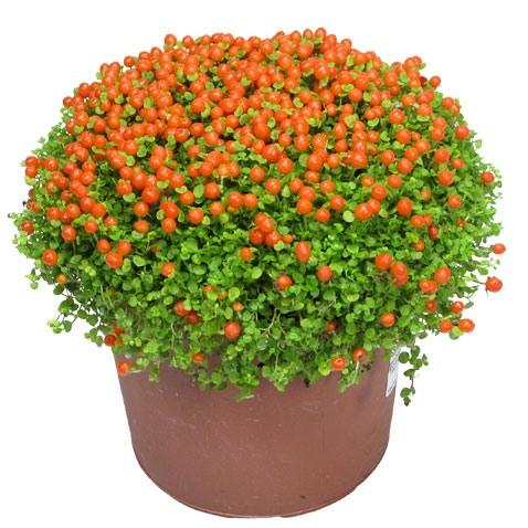 растение Нертера фото 1 (478x478, 67Kb)