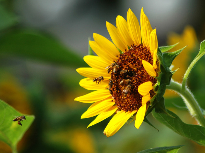 sunflower_37 (700x525, 120Kb)