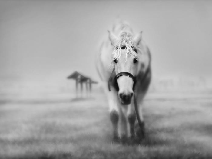 black and white horse (700x525, 104Kb)