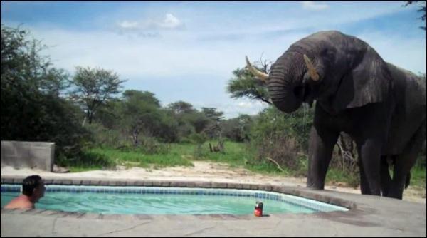Слон пришел к бассейну на водопой