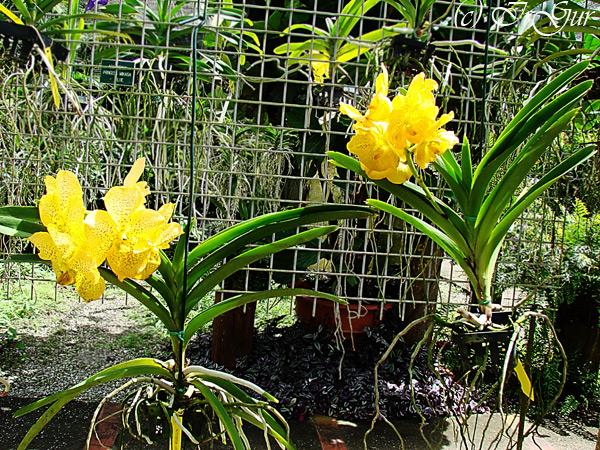 Орхидеи1 (600x450, 229Kb)