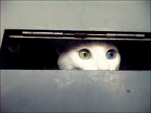 Кошки с разноцветными глазами 03 (620x466, 28Kb)