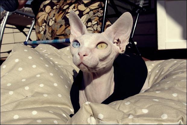 Кошки с разноцветными глазами 05 (620x415, 41Kb)