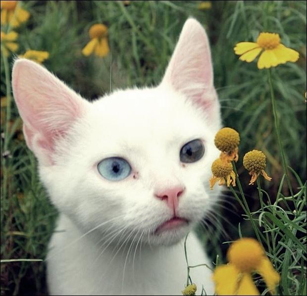 Кошки с разноцветными глазами 07 (620x598, 49Kb)
