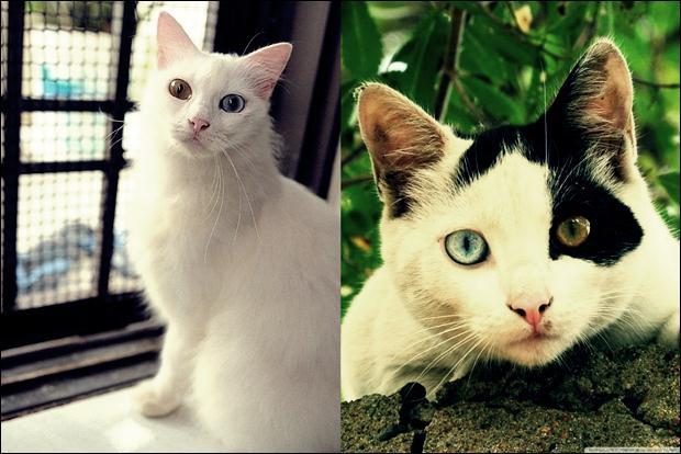Кошки с разноцветными глазами 10 (620x414, 48Kb)