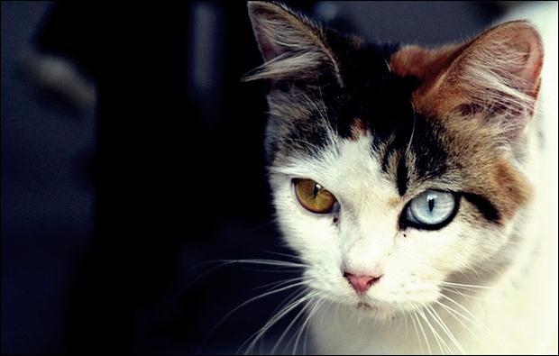 Кошки с разноцветными глазами 12 (620x395, 29Kb)