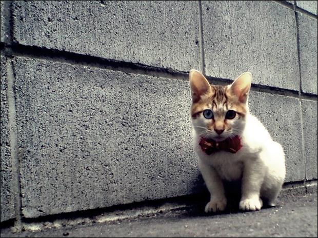 Кошки с разноцветными глазами 14 (620x464, 76Kb)