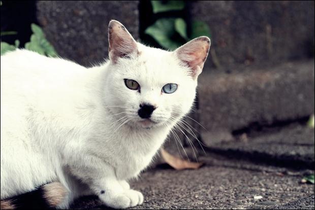 Кошки с разноцветными глазами 16 (620x414, 35Kb)