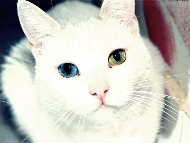 Кошки с разноцветными глазами 18 (620x466, 33Kb)