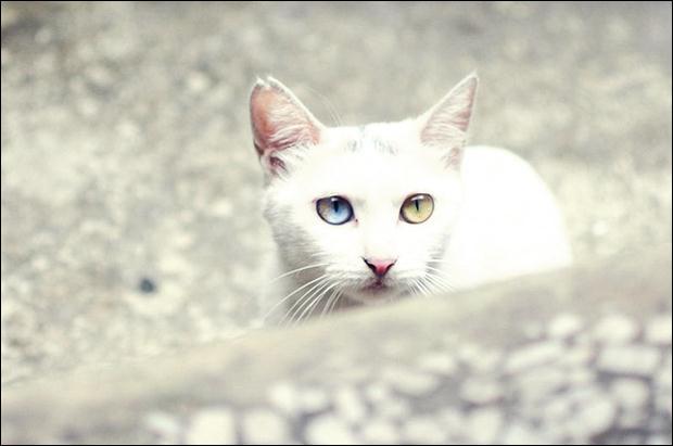 Кошки с разноцветными глазами 20 (620x411, 24Kb)
