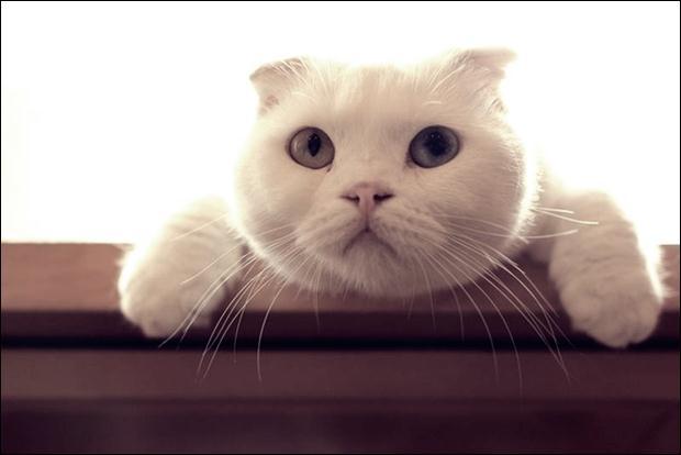 Кошки с разноцветными глазами 22 (620x414, 21Kb)