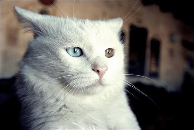 Кошки с разноцветными глазами 24 (620x414, 27Kb)