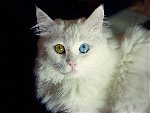 Кошки с разноцветными глазами 26 (620x466, 31Kb)
