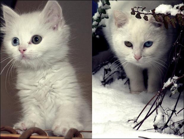 Кошки с разноцветными глазами 28 (620x468, 44Kb)