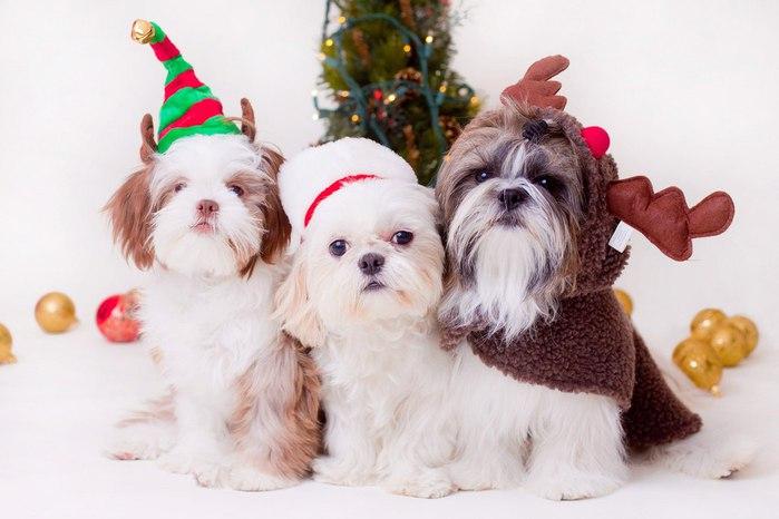 собаки породы ши-тцу фото 2 (700x466, 57Kb)