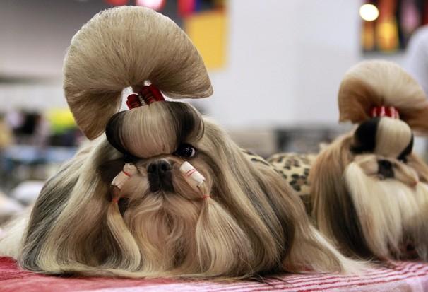 собаки породы ши-тцу фото 7 (606x413, 61Kb)