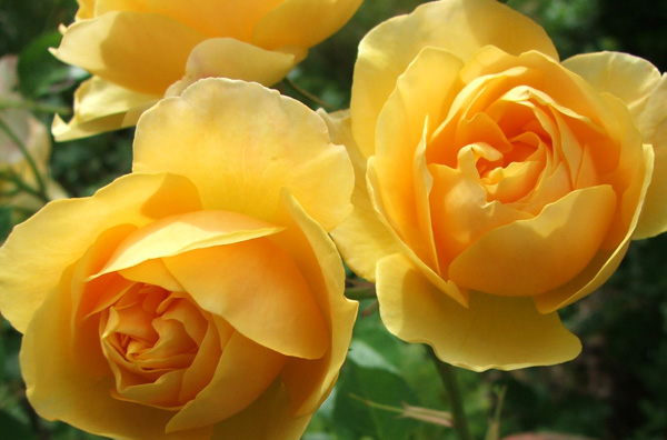 3368205_yellowroseaustin (600x396, 75Kb)