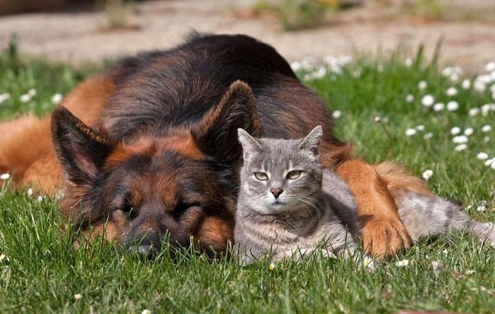 кошка с собакой фото  3 (700x444, 152Kb)