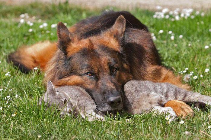 кошка с собакой фото  5 (700x466, 168Kb)