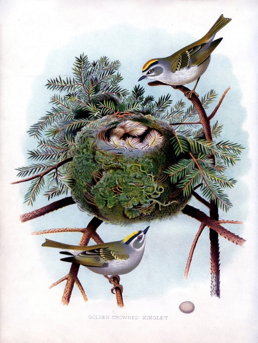 bird nest pine vintage image  graphicsfairysm (527x700, 299Kb)