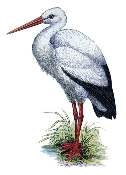 stork vintage image  GraphicsFairy (503x700, 171Kb)