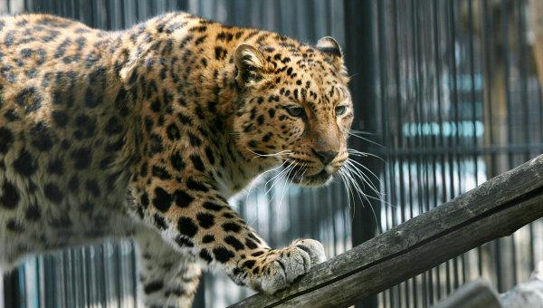 леопард (600x340, 66Kb)