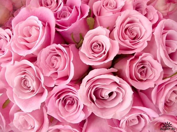 1235581853_rose_6003-50 (700x525, 68Kb)