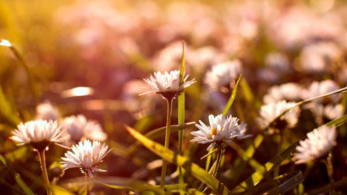 маргаритки,цветы в поле (700x393, 336Kb)