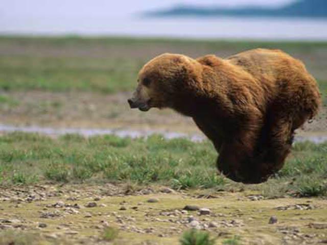 hover-bear-flying-bear2 (640x480, 56Kb)