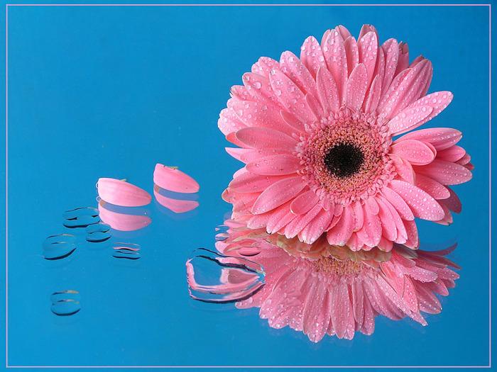 розовый. цвета.  Теги. натюрморт. капли. цветок.  Автор: Григорий Сухарев (Greg V.S. отражение.