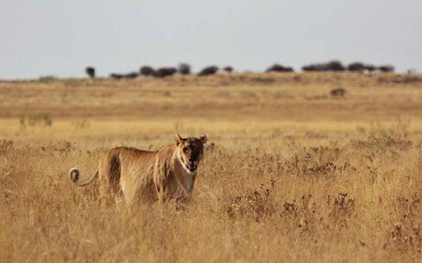 lion 1 (600x374, 29Kb)