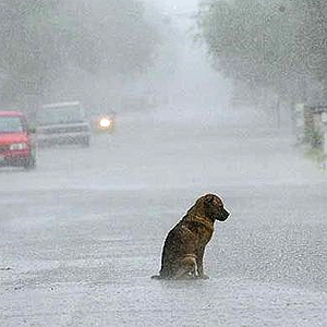 dog-in-the-rain (500x500, 68Kb)