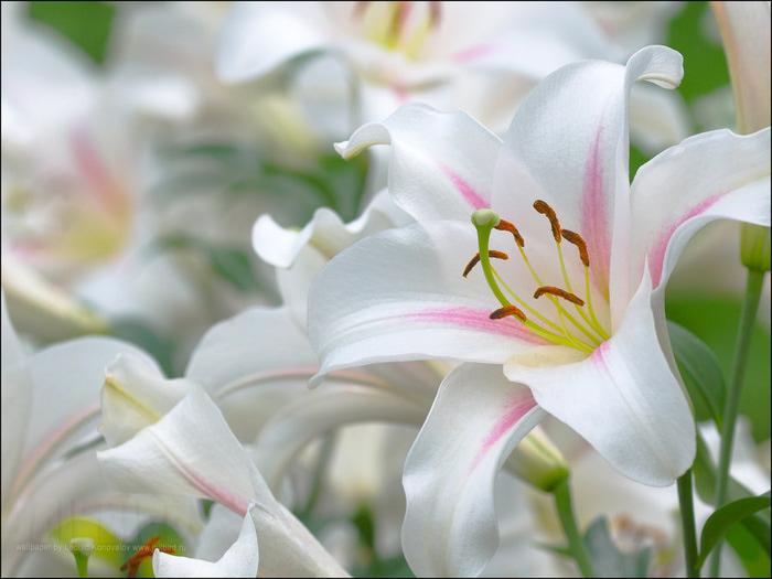 Цветы белые лилии картинки 4