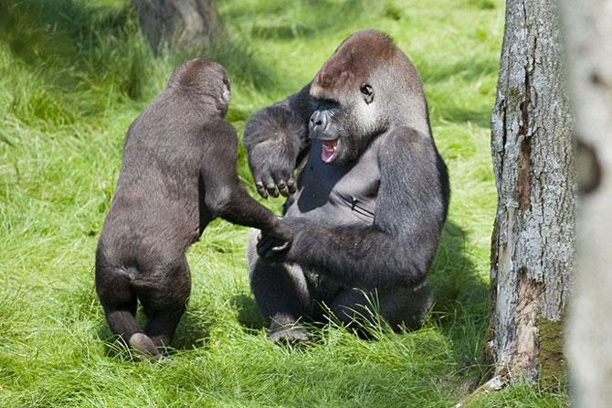 гориллы фото (670x446, 100Kb)