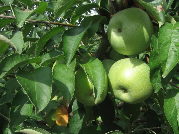 яблоки (700x525, 120Kb)