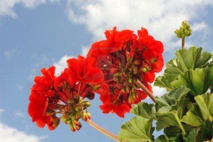 6979805-red-garden-geranium--pelargonium-over-blue-sky (700x467, 56Kb)