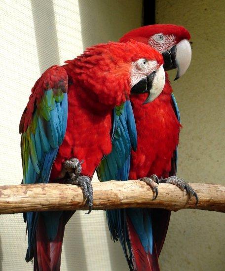 У попугаев ара крупный,