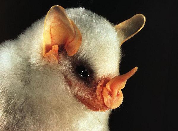 white_bat_01 (600x443, 45Kb)