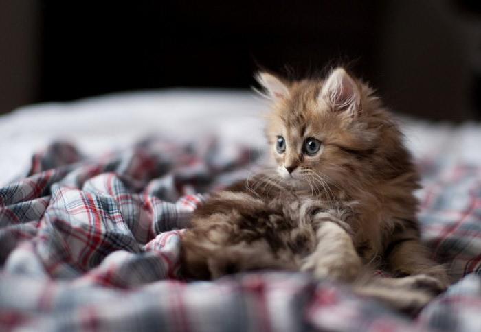 Daisy_kitten_18-720x498 (700x466, 57Kb)