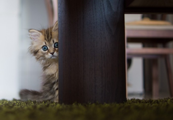 Daisy_kitten_28-720x500 (700x486, 42Kb)