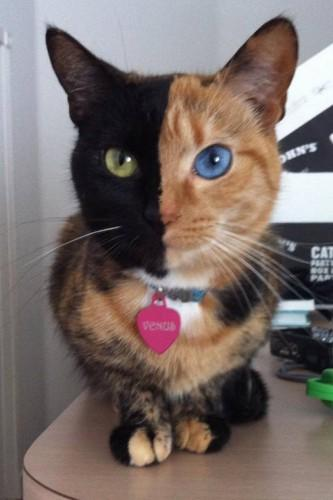 кошка химера (333x500, 20Kb)