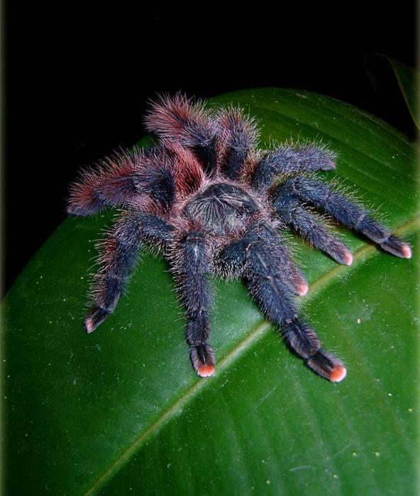 тарантул неагрессивный убегает, экскремены на 1 метр (592x700, 57Kb)