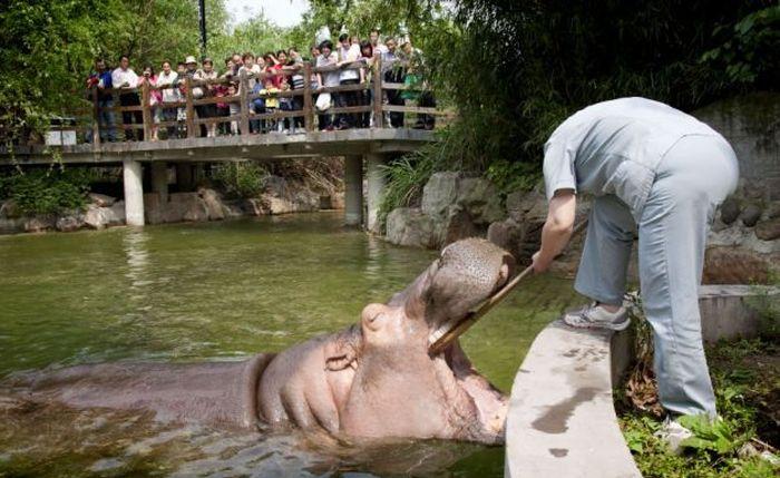 Как чистят зубы бегемотам